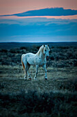 'Wild Mustang Trotting On A Field At Sunset; Wyoming, United States Of America'