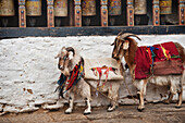 'Two Goats Wrapped In Decorative Blankets Standing Against A Wall In The Trongsa Dzong; Trongsa, Trongsa District, Bhutan'