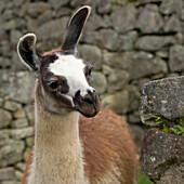'Portrait Of Llama At Machu Picchu; Peru'