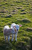 'Two Lambs Side By Side On The Grass; Shetland, Scotland'