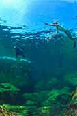 'A Tourist Swimming Underwater With A Sea Lion At Los Islotes National Marine Park Espiritu Santo Island; La Paz Baja California Mexico'