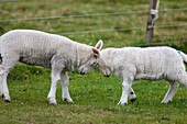 'Two Sheep Go Head To Head; Northumberland, England'