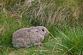 'A Brown Rabbit Hides In The Grass; Northumberland, England'