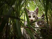 'Two Kittens Peering Through Tall Grass; Beaverhill, Lake Alberta, Canada'