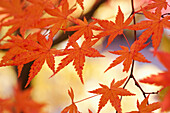 'Japanese Maple Leaves In Autumn; Hakone, Honshu, Japan'