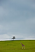 'A Lone Giraffe And Tree In A Wide Open Space; Kenya'