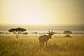'An Antelope Walks In The Grassland At Sunset; Kenya'