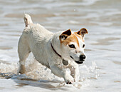 'A Dog Running In The Shallow Water; Tarifa, Cadiz, Andalusia, Spain'