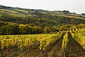 Vineyard, Tuscany, Italy
