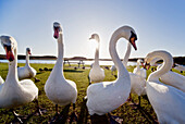 Swans Outdoors