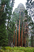 Sequoia Trees In Sequoia National Park, California, United States Of America