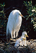 Great Egret (Ardea Alba) Adult With Two Young In Nest