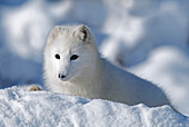 'Arctic Fox Exploring Fresh Snow; Alaska, Usa'