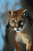 'Mountain Lion (Felis Concolor); Montana, Usa'