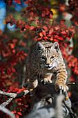 'Bobcat (Felis Rufus) Walks Along Branch Through Red Leaves Of A Hawthorn In Autumn; Idaho, Usa'