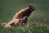 'Grizzly Bear (Ursus Arctos) Stretching; Denali National Park And Preserve, Alaska, Usa'