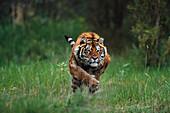 Wet Siberian Tiger Charging