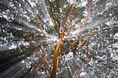 Light Streams Through Tropical Tree, Costa Rica