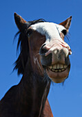 'A Horse Smiling And Showing It's Teeth; Northumberland, England'