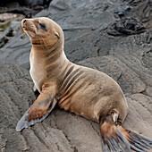 'A Fur Seal (Otariidae) Sitting On A Rock; Galapagos, Equador'
