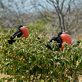 'Two Frigatebirds With Inflated Red Throat Pouches; Galapagos, Equador'