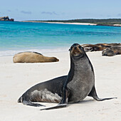 'Sea Lions Basking In The Sun On The White Sand Beach; Galapagos, Equador'