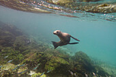'A sea lion swimming under the water's surface watching a school of fish;Galapagos, equador'