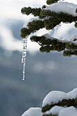 'An Icicle Hanging From A Snowy Tree Branch; Whistler, British Columbia, Canada'
