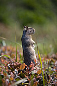 'Ground Squirrel Standing In A Field; Otter Rock, Oregon, United States of America'