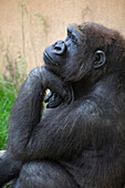 'A Gorilla Sits In A Thinking Position With Chin Resting On The Top Of It's Hand; Calgary, Alberta, Canada'