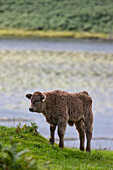 'A Calf Standing By The Water's Edge; Ardnamurchan, Argyl, Scotland'