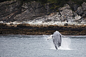 'Humpback Whale (Megaptera Novaeangliae) Breaching; Juneau, Alaska, United States of America'