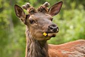 'Elk (Cervus Canadensis) With Dandelion In It's Mouth In Prince Albert National Park; Saskatchewan, Canada'