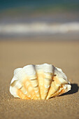 Frilly White, Yellow And Orange Clam Shell Upright On Beach, Blurred Ocean In Background.
