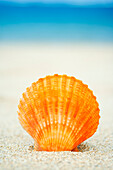 Orange Scallop Shell Standing Upright In Sand.
