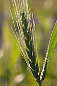 'Close Up Of An Unripened Wheat Head Backlit With Dew Droplets; High River, Alberta, Canada'