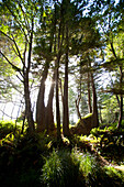'Old Growth Trees Backlit By The Sun Along The Path To Florencia Bay In Pacific Rim National Park Near Tofino; British Columbia, Canada'