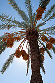 'Low Angle View Of A Date Tree With Sunlight And Blue Sky; Palm Springs, California, United States of America'