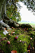'Nuts And Fallen Leaves At The Foot Of A Tree; Scottish Borders, Scotland'
