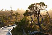 'The Cedar Boardwalk Path In The Shorepine Bog Trail In Pacific Rim National Park Near Tofino; British Columbia, Canada'