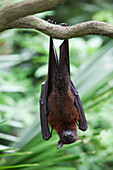 'A Flying Fox Bat Hangs Upside Down From A Tree Branch At The Singapore Zoo; Singapore'