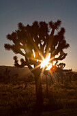 'Silhouette Of A Yucca Tree In The Desert At Sunset With A Sunburst; Palm Springs, California, United States of America'