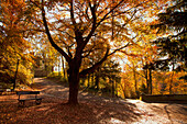 'Fallen Leaves Cover The Ground Where A Park Bench Sits Under A Tree In Autumn; Durham, England'