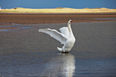 'A Swan Lands On The Water With It's Wings Outstretched; Northumberland, England'