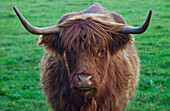 'Yak With Large Horns; Scottish Borders, Scotland'