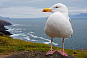 'European Herring Gull (Larus Argentatus) Perched On A Rock On Slea Head On The Dingle Peninsula; County Kerry, Munster, Ireland'