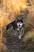 Black And White Mixed Breed Dog On Path Through Long Dry Grass, Canada, Alberta