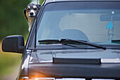 Mixed Breed Dog With Head Out The Window Of Vehicle, Canada, Alberta