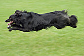 Mixed Breed Dog, Black, Running Fast