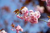 Detail Of Cherry Tree Blossom, Canada, Ontario
